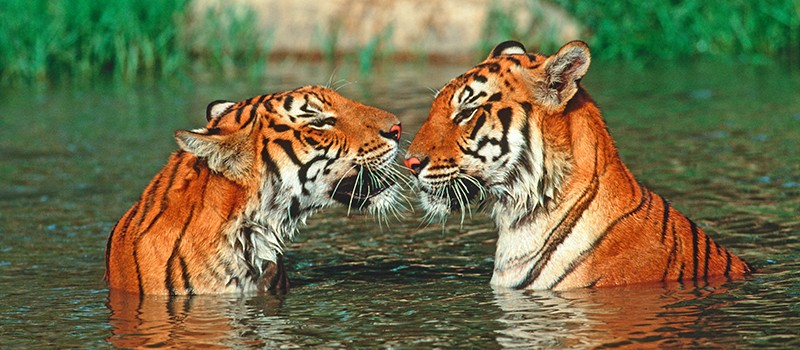 A6C3FB Tiger Panthera tigris Swimming in hot weather Endangered Corbett National Park India Asia extinct in much of its range